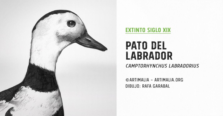 1875 Pato del Labrador | Artimalia