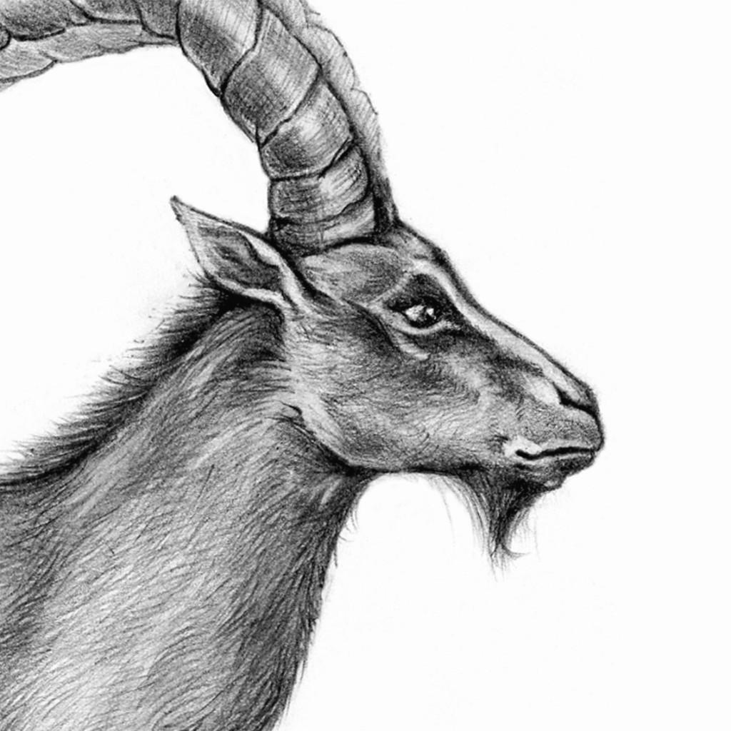 Cabra montés portuguesa Mueyu