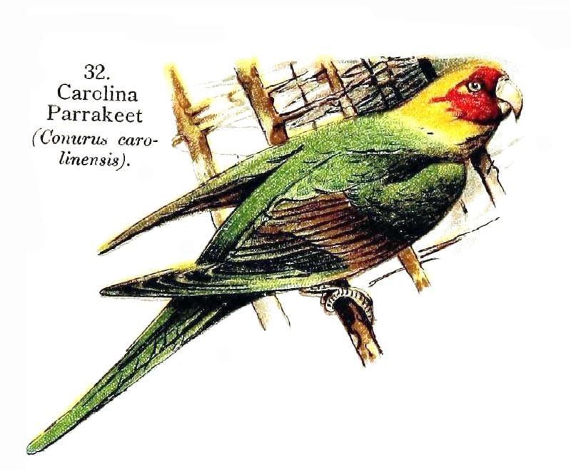 53_cotorra_carolina