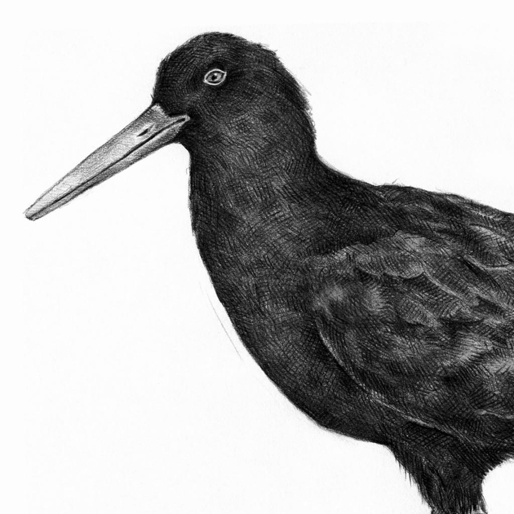 Ostrero unicolor canario Grajo marino Cuervo marino Grajo de mar
