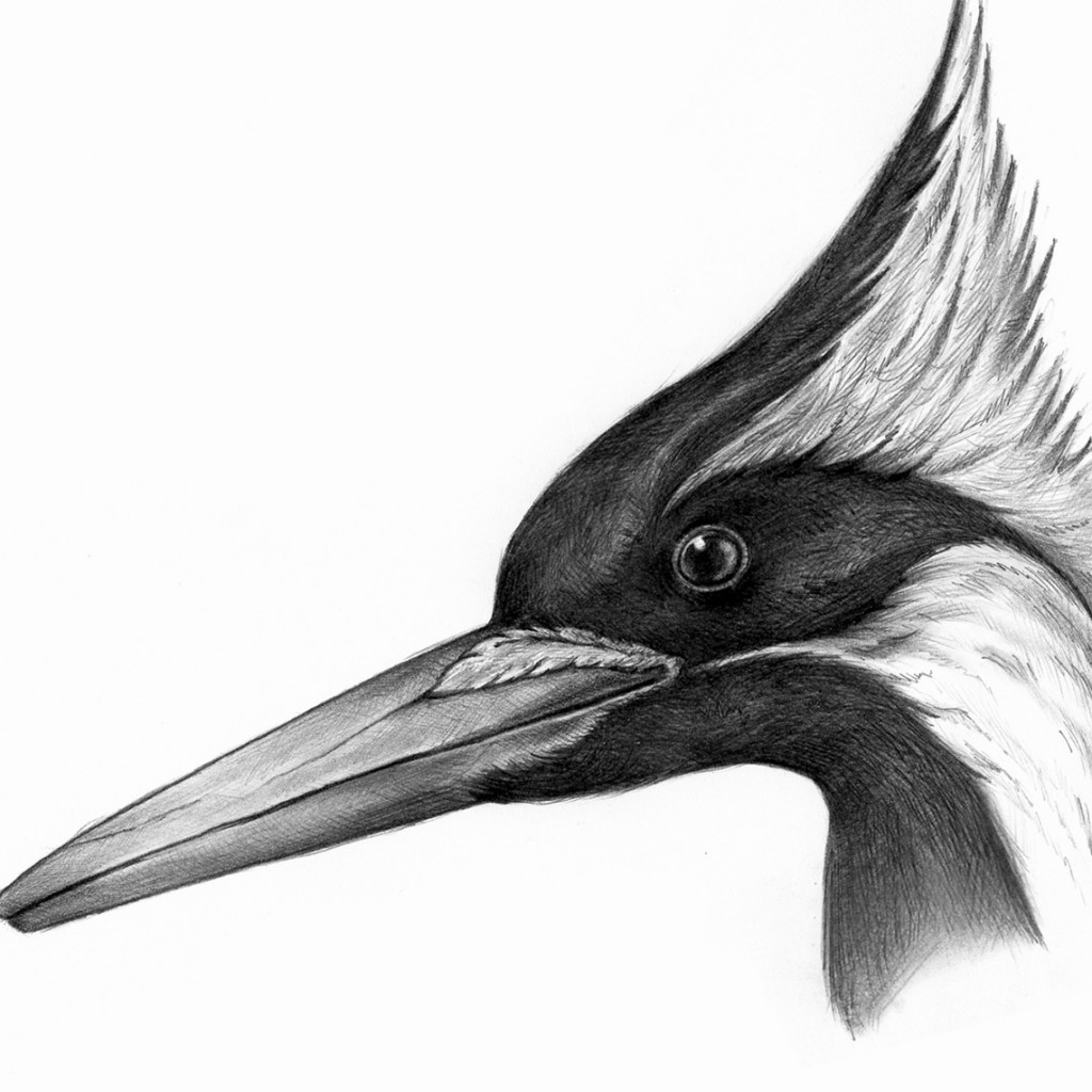 Pájaro carpintero imperial