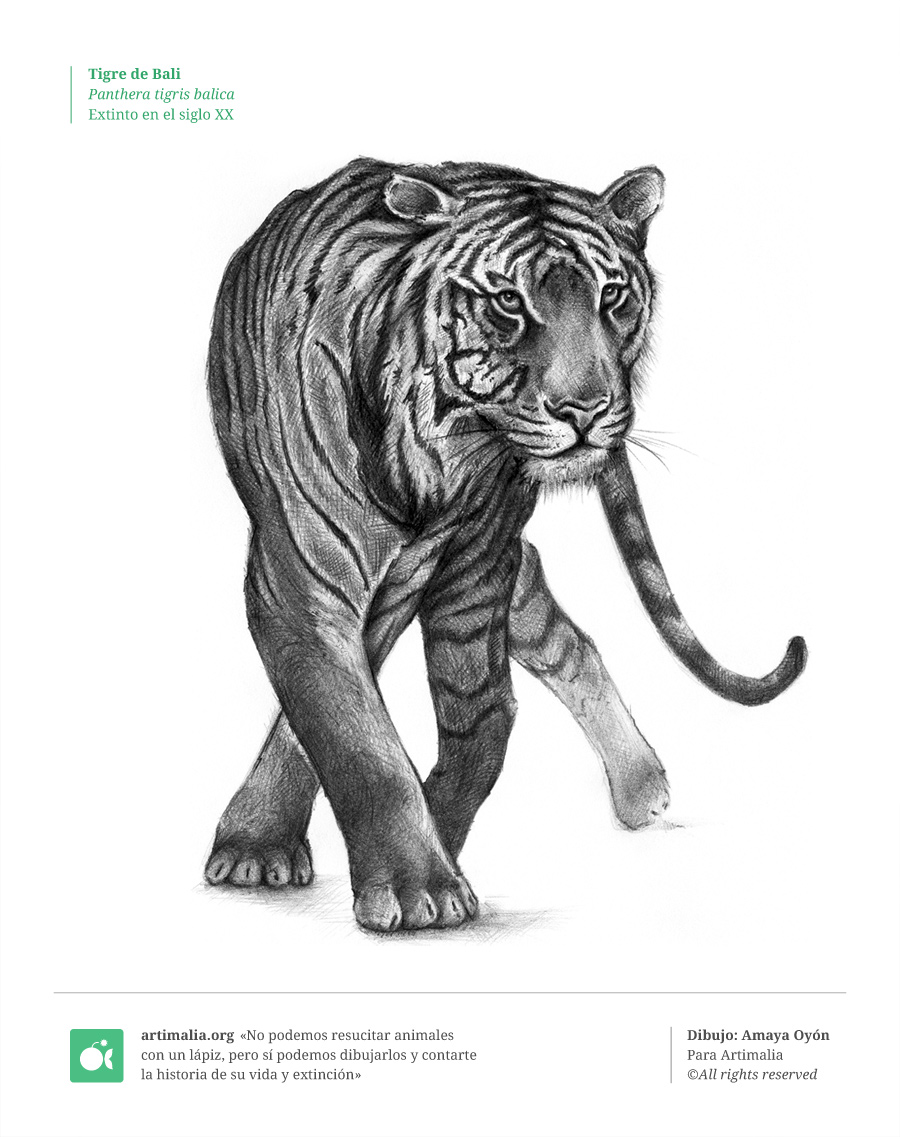 s20_tigre_bali