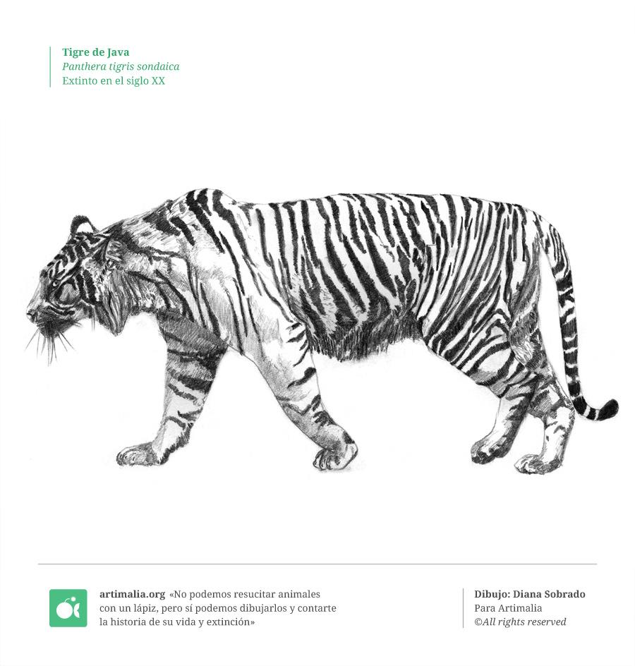 s20_tigre_java