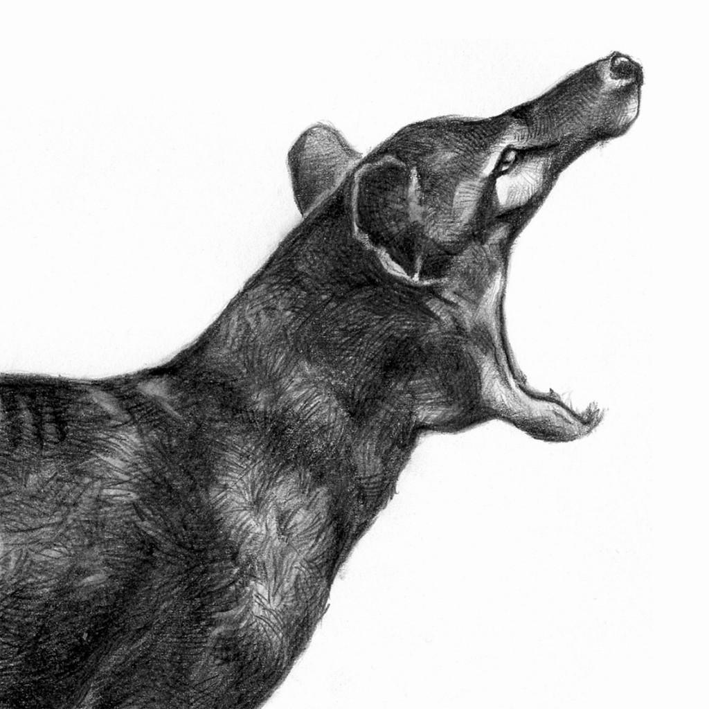 Tilacino Tigre de Tasmania Lobo marsupial Lobo de Tasmania Tilacín