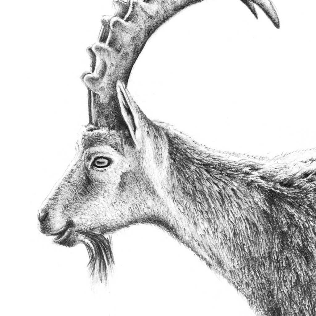 Bucardo dibujo de Raúl Rodríguez Mosiq