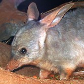 bilby menor artimalia