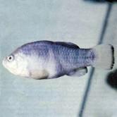 pez de tecopa artimalia