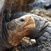 solitario Geroge tortuga gigante de la isla pinta