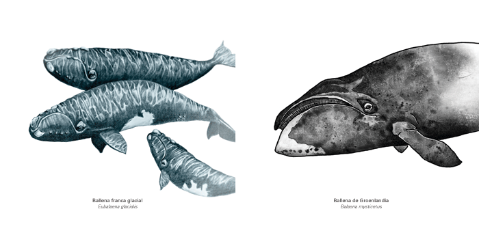 ballena franca glacial y ballena de groenlandia por Manuel Zapico y amaya Oyón