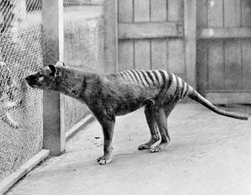 Benjamin el ultimo tilacino Artimalia
