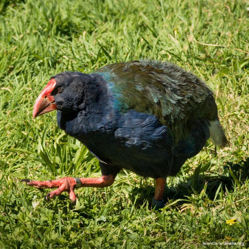 Especie redescubierta: Calamón takahe de la Isla Sur | artimalia.org