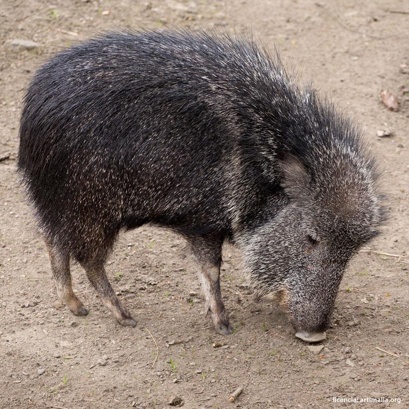 Especie redescubierta: Pecarí del Chaco | artimalia.org
