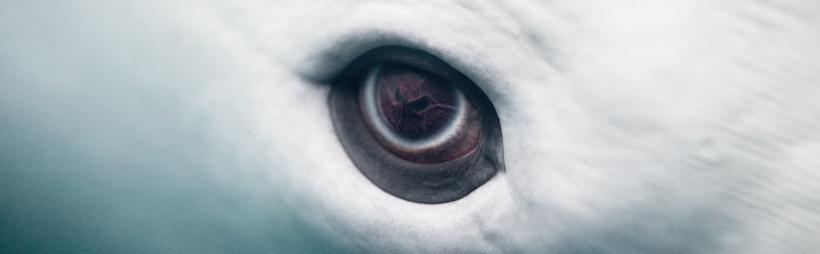 Detalle de ojo de beluga
